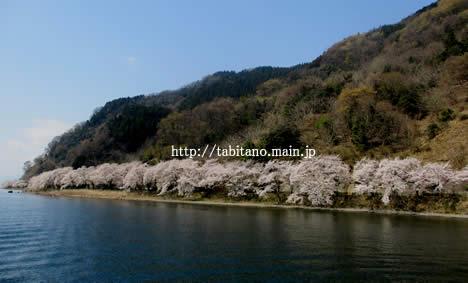 海津大橋 桜