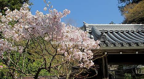 宝泉院 桜