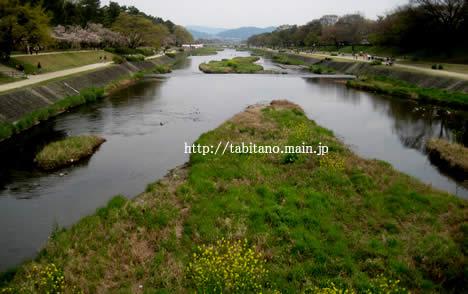 高野川 菜の花