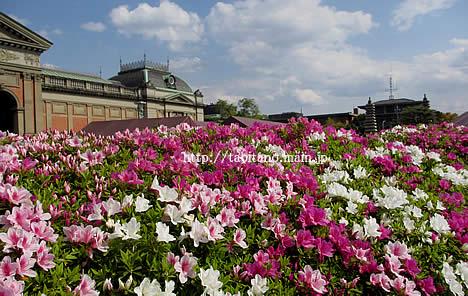 京都国立博物館 つつじ