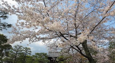 建仁寺 桜