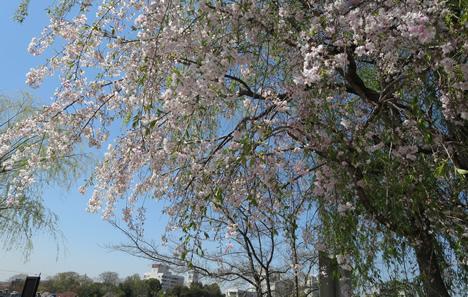 出町柳 桜