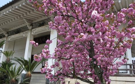 本善寺 桜