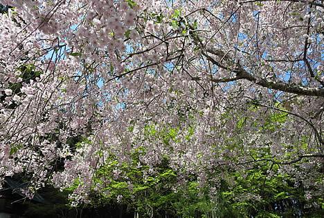 阿弥陀寺 桜