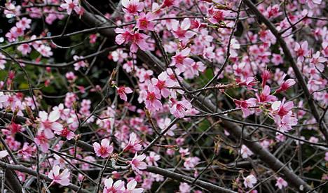 知恩寺 桜