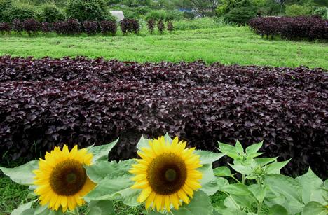 大原 紫蘇畑
