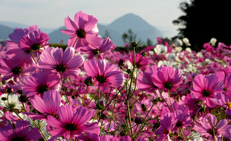 近江富士 コスモス