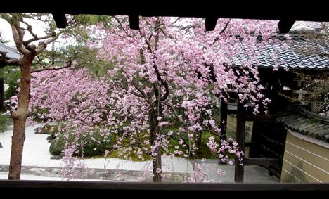 妙顕寺 桜