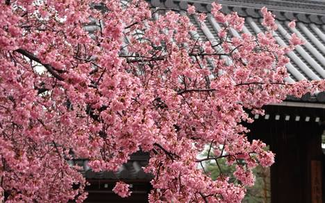 長徳寺 桜
