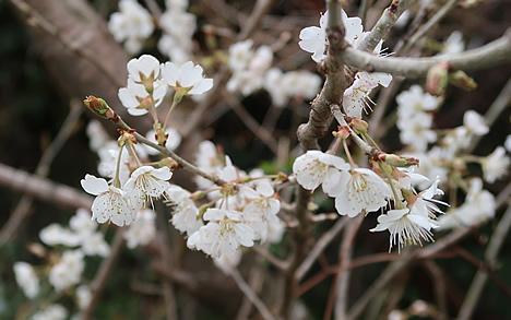 上賀茂 桜