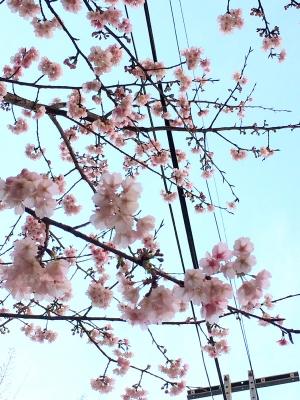 河津桜 Kawazu Sakura