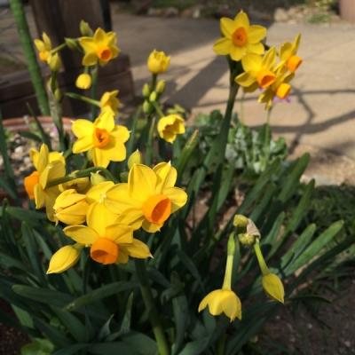 水仙 Daffodils
