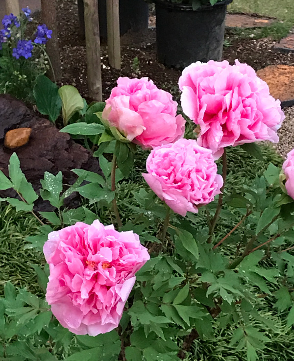 雨上がりの庭の牡丹