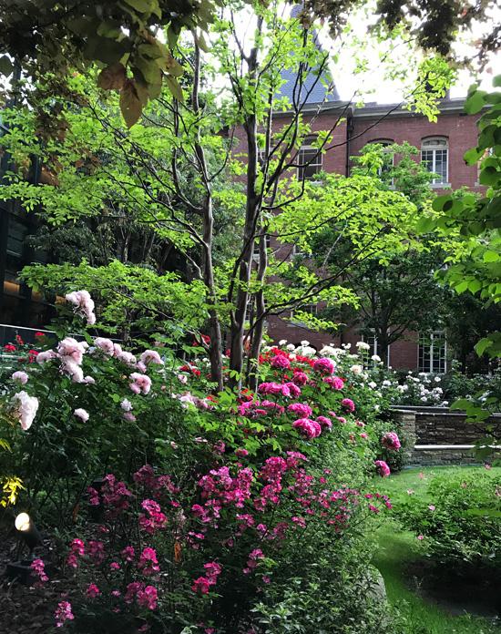三菱一号館の中庭のバラ