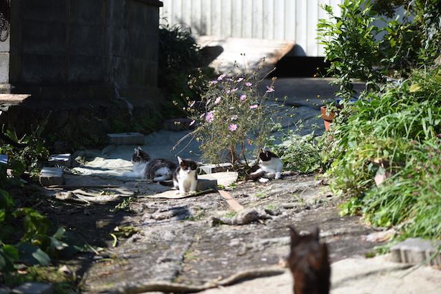 宮城県 田代島の猫
