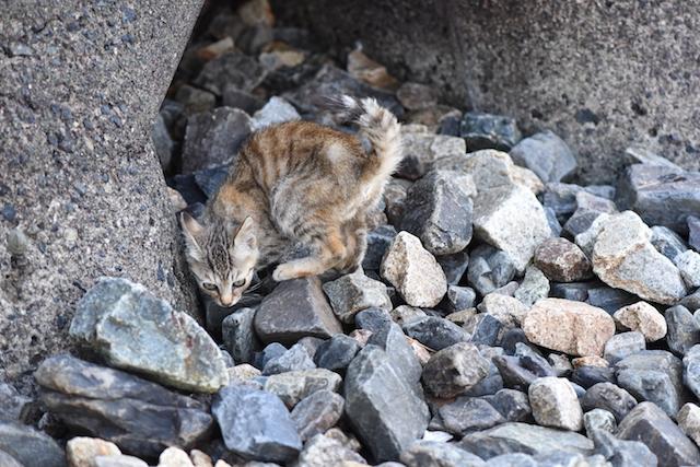 岡山県 真鍋島の猫