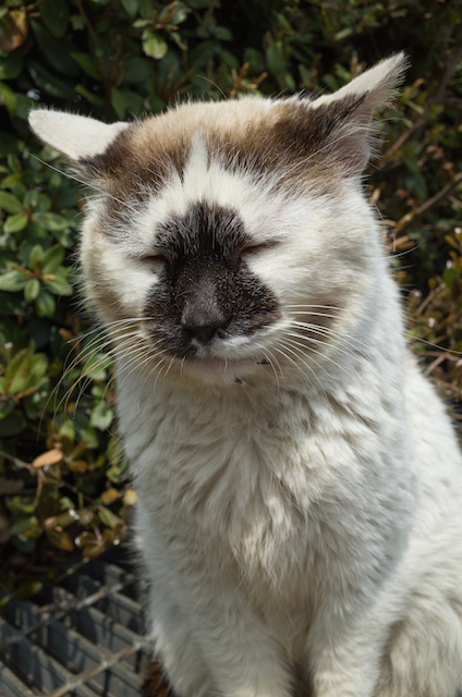 埼玉県 狭山市の猫