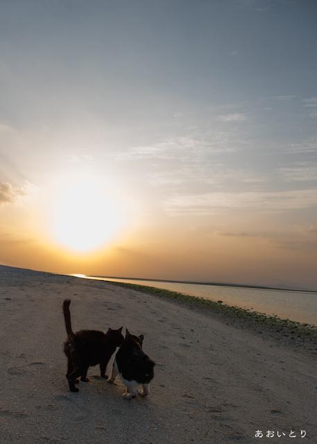 沖縄県竹富島コンドイビーチの猫