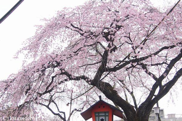 平野神社hiranoshrine1.jpg