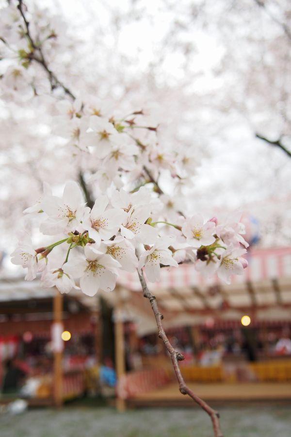 平野神社hiranoshrine2.jpg