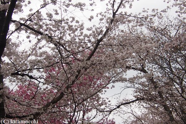 平野神社hiranoshrine3.jpg