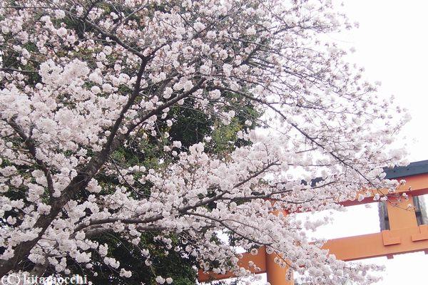 平野神社hiranoshrine5.jpg