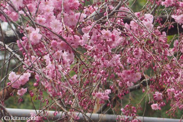 平野神社hiranoshrine10.jpg