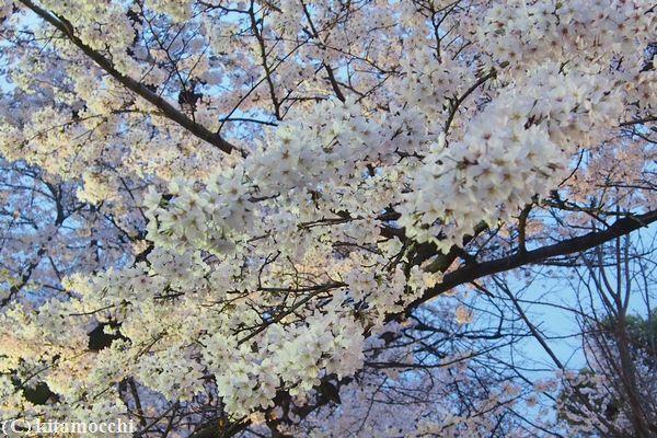 高瀬川の桜1.jpg