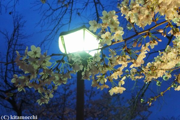 高瀬川の桜4.jpg