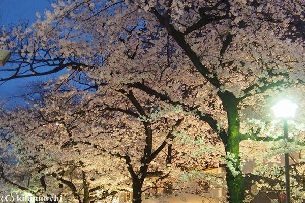 高瀬川の桜5.jpg