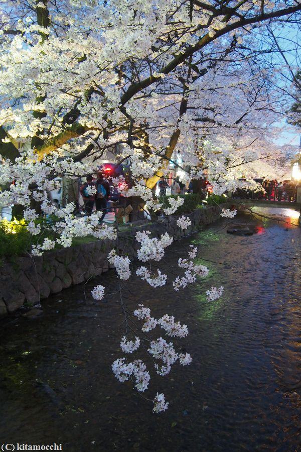 高瀬川の桜6.jpg