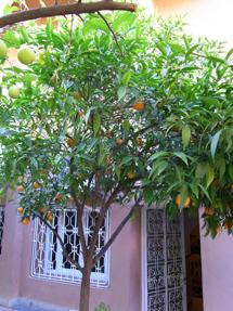 庭のオレンジ
