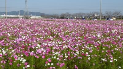 近江八幡野田町 コスモス畑