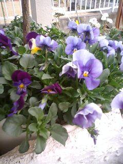 ビオラ 春の花