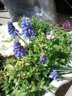ムスカリ 球根の花 春の花