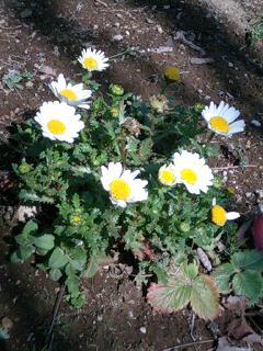 ノースポール 春の花 こぼれ種