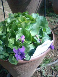 スイートバイオレット 春の花