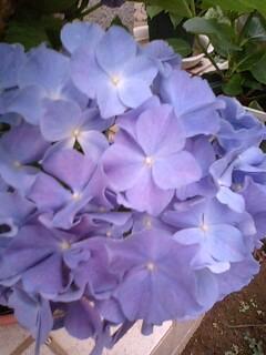 紫陽花の色の違い