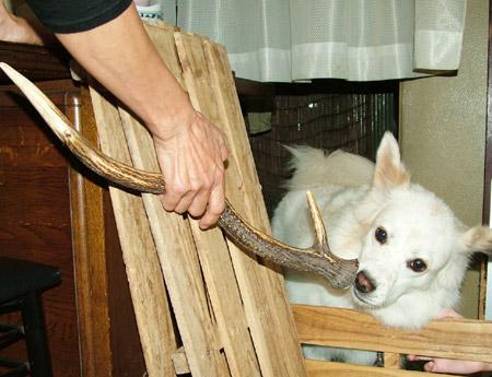 鹿の角とイヌ