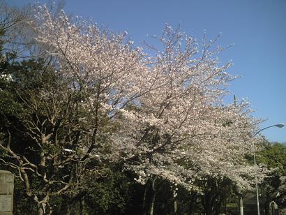 ネオノンバトル実践ブログ桜の写真