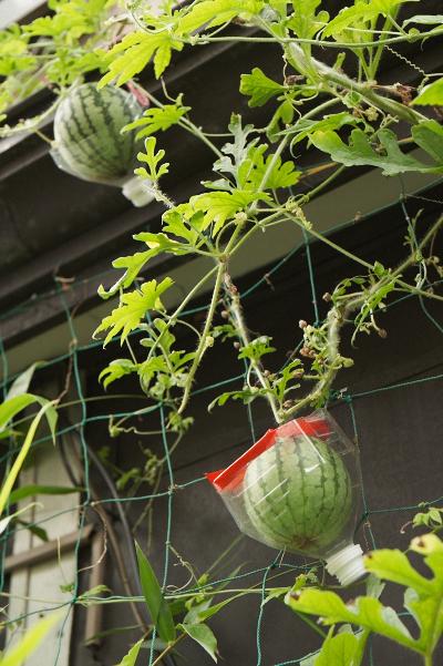 鳥越の鉢植え