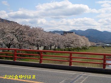sakuranamiki4