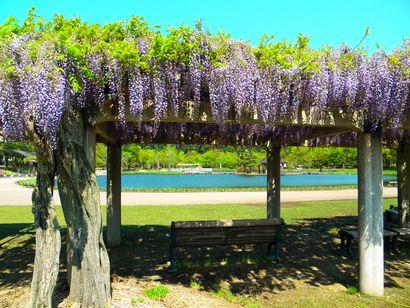 あやめ池公園の藤の花