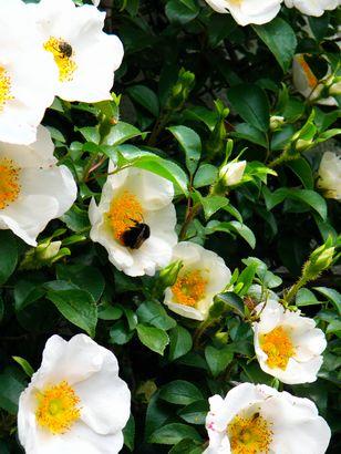 管理人さんちの薔薇の花