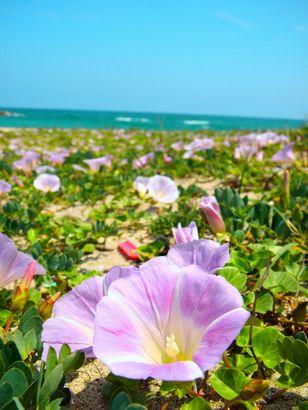 湯梨浜町ハワイビーチのハマヒルガオ