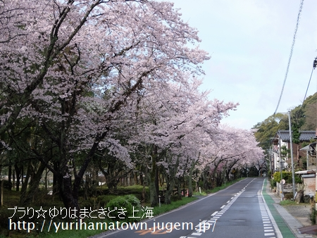 【倉吉市→湯梨浜町】桜めぐり