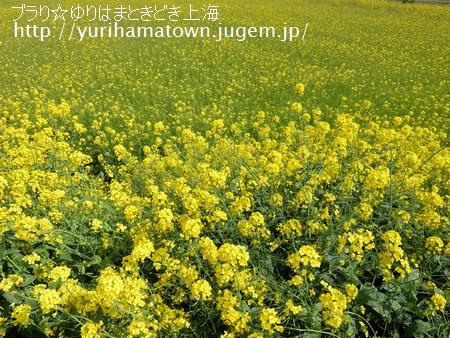 【北栄町】菜の花畑