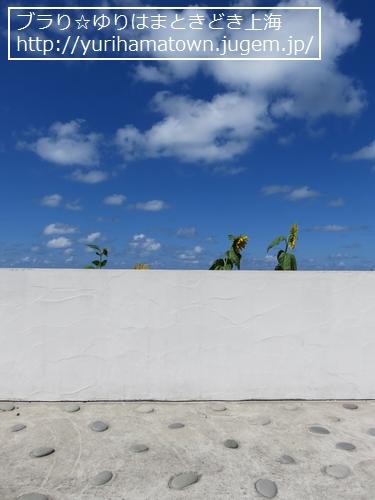 【琴浦町】鳴り石の浜のひまわり畑