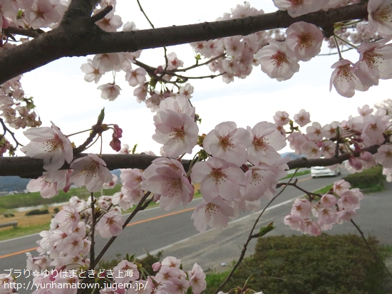 とっとり桜お花見特集