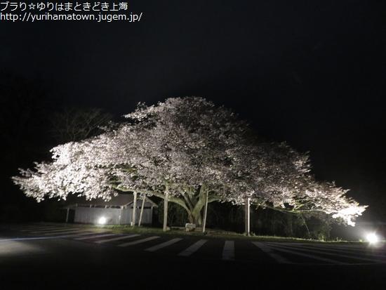 【琴浦町】幻想的な夜桜にうっとり!!上法万の大山桜